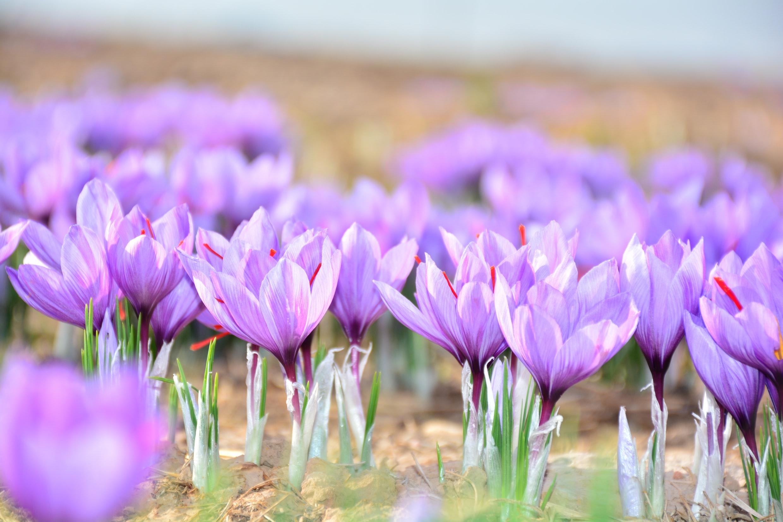 Kozani, een zee van paarse bloemen!
